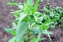 Niger-seeds-plant