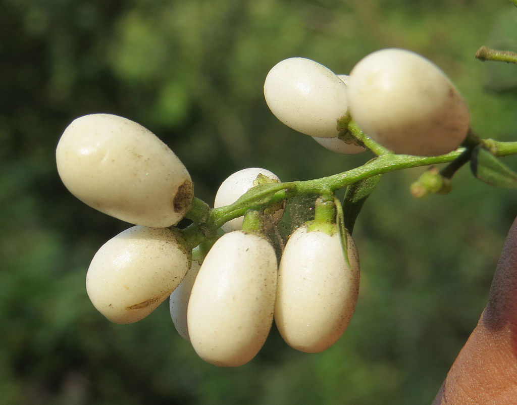Closer-view-of-fruits-of-Night-blooming-jasmine