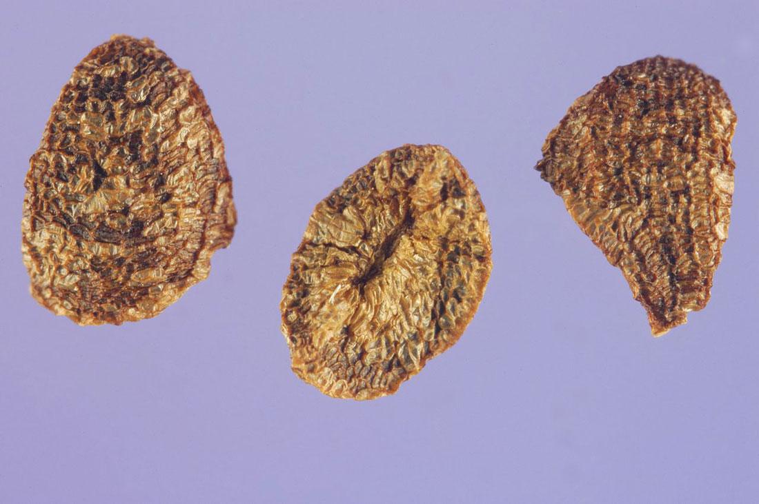 Dried-seeds-of-Night-blooming-jasmine