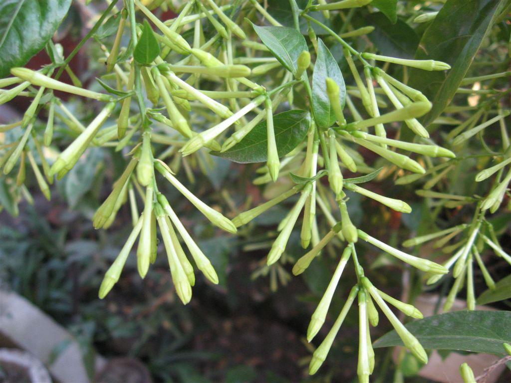 Flowering-buds-of-Night-blooming-jasmine