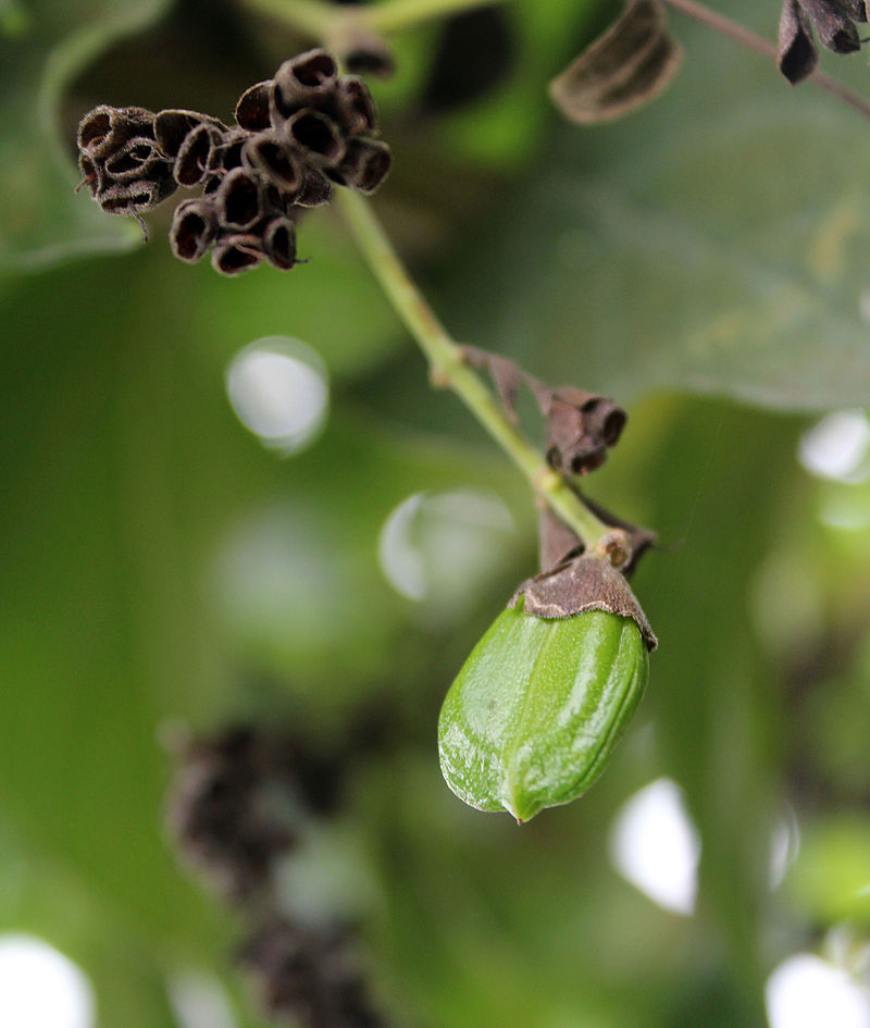 Immature-Seed-of-Night-blooming-jasmine