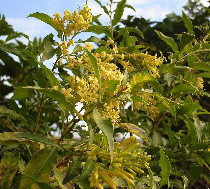 Other-Varieties-of-Night-blooming-jasmine