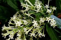 Flowers-of-Night-blooming-jasmine