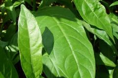 Leaves-of-Night-blooming-jasmine