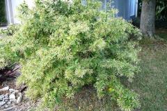 Night-blooming-jasmine-Plant