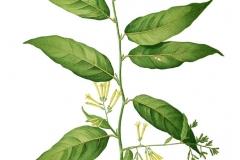Plant-Illustration-of-Night-blooming-jasmine
