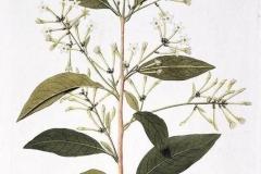 Sketch-of-Night-blooming-jasmine
