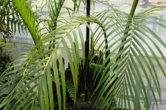 Nipa-palm-leaves