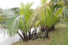 Nipa-palm-plant