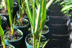 Nipa-palm-seedlings