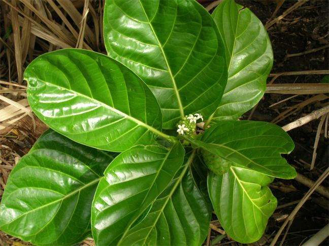 Noni-fruit-leaves