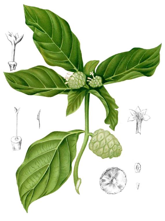 Noni-fruit-plant-illustration