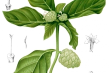 Noni-fruit-plant-illustration