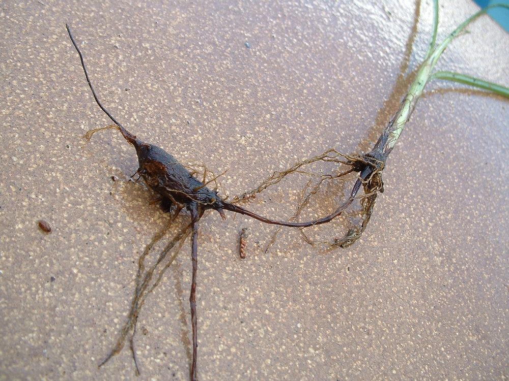 Nut-Grass--Motha