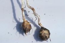 Nut-Grass--Cortadera