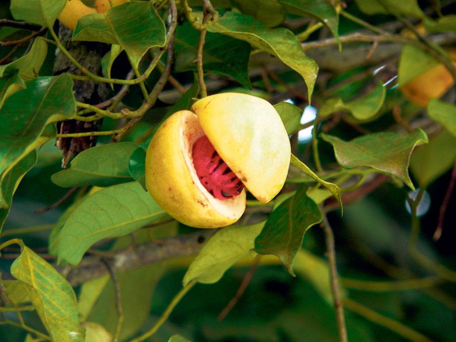 Nutmeg-fruit-cracked