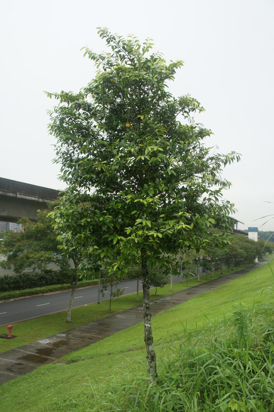 Nutmeg-tree