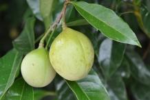 Nutmeg-fruit