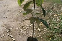 Nutmeg-seedling