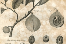 Plant-illustration-of-Nutmeg