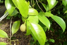 Leaves-of-Nutmeg