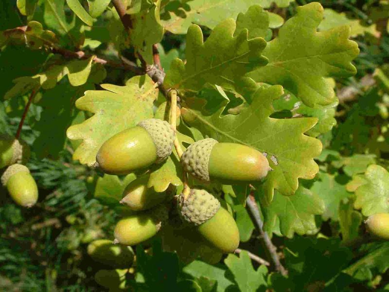 Oak-nut-acorn-green