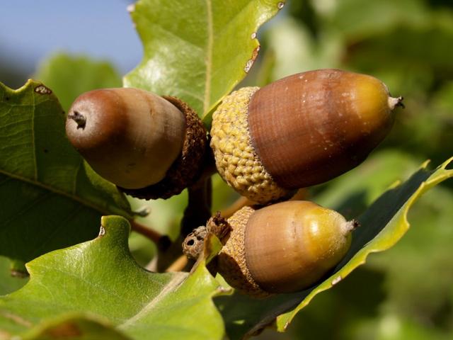 Oak-nut-acorn