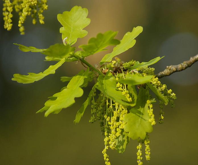 Oak-nut-flowers