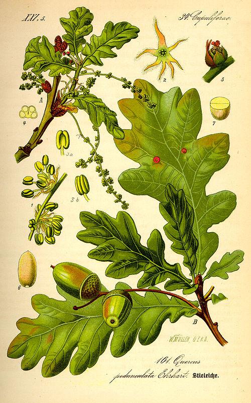 Oak-nut-illustration