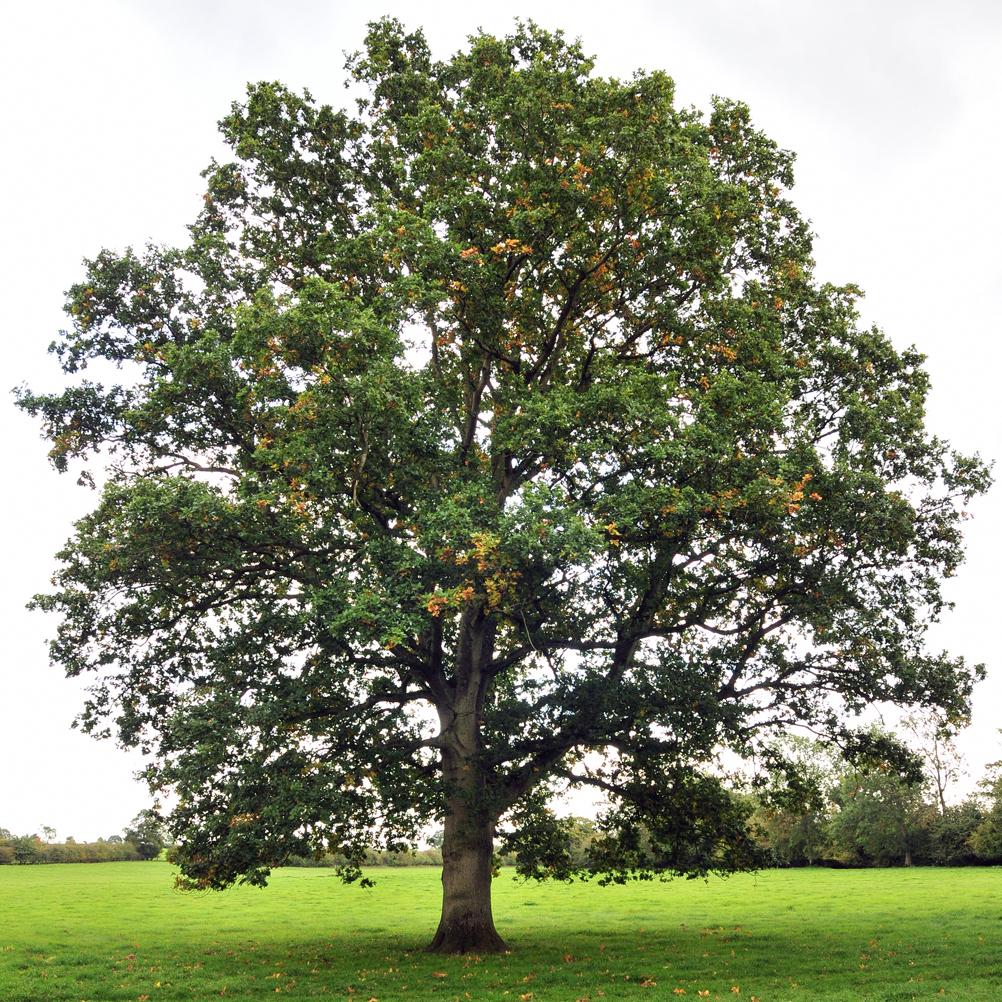 Oak-nut-tree