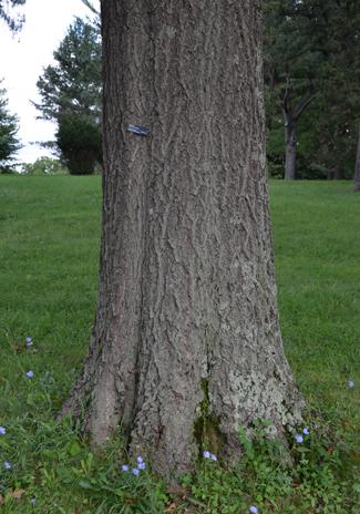 Oak-nut-trunk