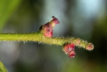 Oak-nut-buds