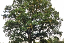 Oak-nut-tree
