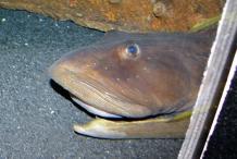 Head-of-Ocean-pout