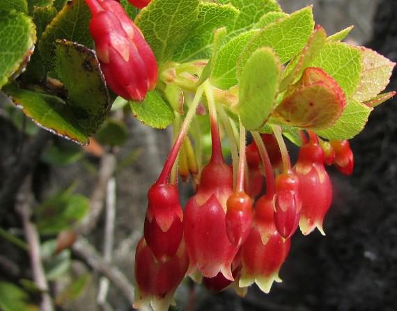 Ohelo-berries-flowers