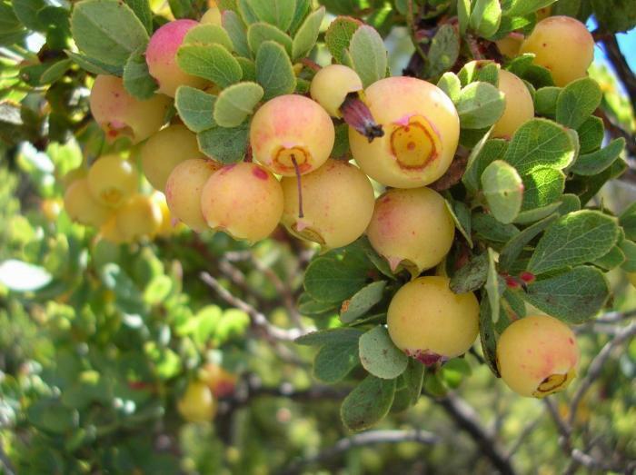 Ohelo-berries