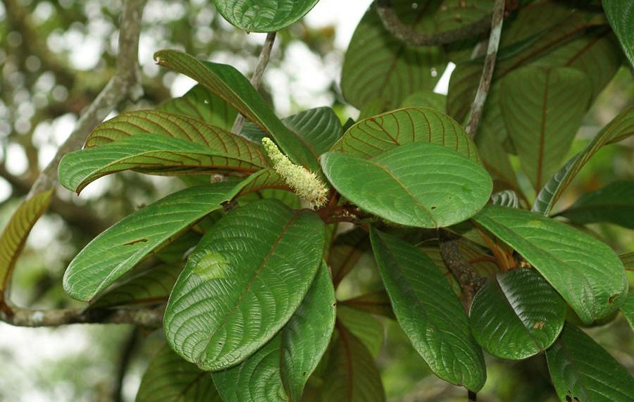 Okari-Nut-leaves
