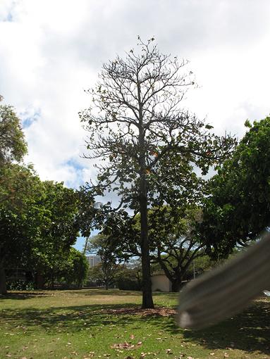 Okari-Nut-tree