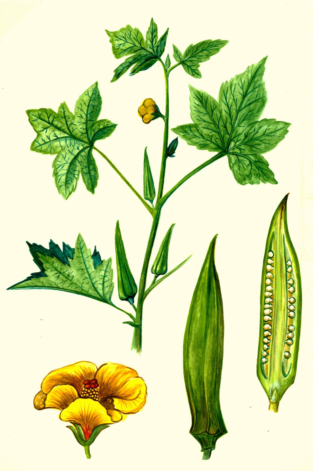 Illustration-of-Okra-plant