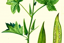 Illustration-of-Okra-plant