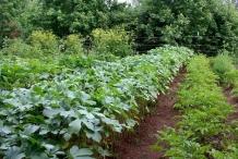 Okra-farm