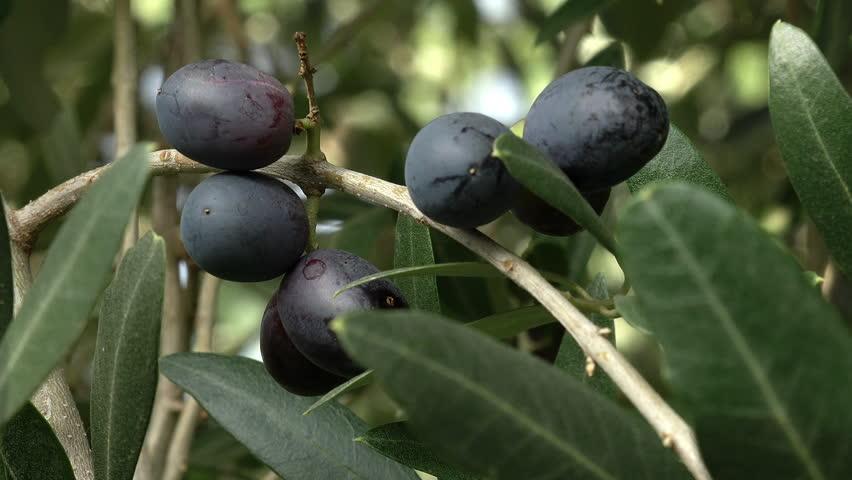 Olive fruit black-olijfolie