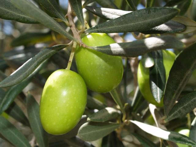 Olive-fruit-green-Tēla