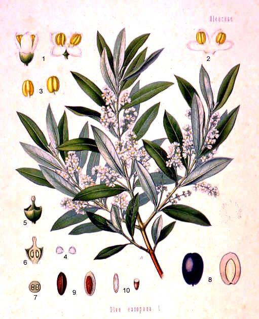 Olive-illustration-mafuta