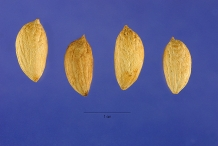 Olive seeds-ollibeuyu