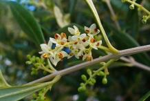 Olive flower-Common Olive