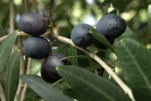 Olive fruit black-olijfolie
