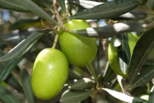 Olive-fruit-green-Tēla