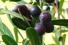 Olive fruit-Oleae Folium