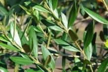 Olive leaf-azeite